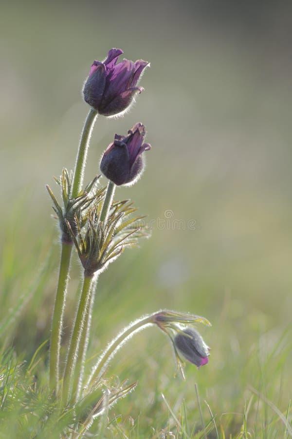 Pulsatilla vulgaris growing in the meadow. Pulsatilla vulgaris is early-growing perennial plant stock image