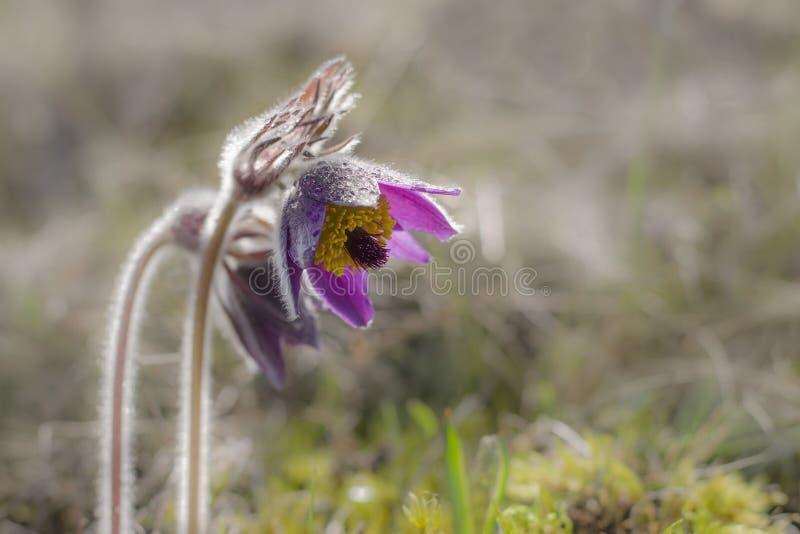 Pulsatilla vulgaris ou fleurs de fleur de Pasque dans la steppe photographie stock