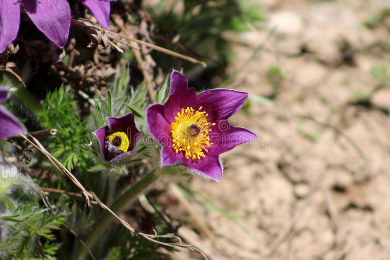 Pulsatilla vulgaris or Pasque flower or Pasqueflower blooming in garden royalty free stock photos