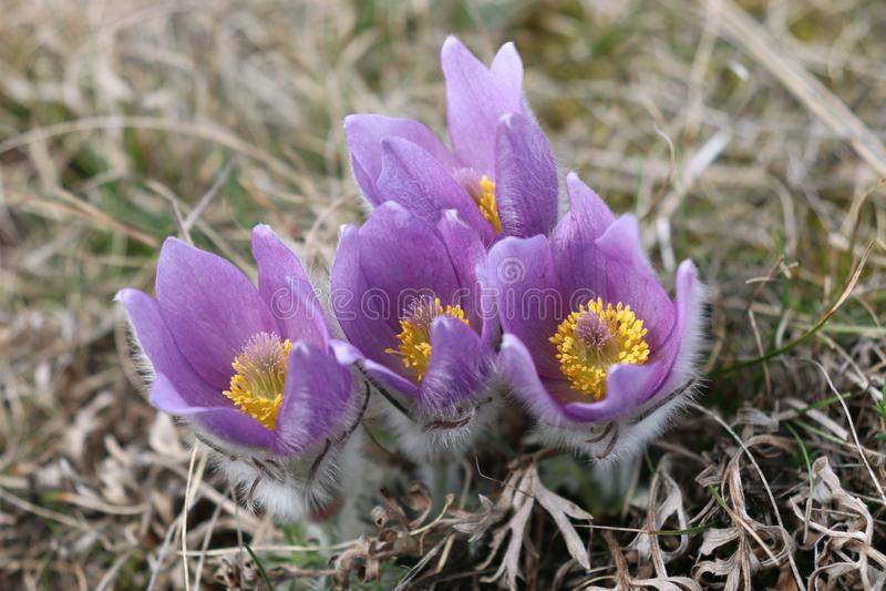 First spring flower Pulsatilla grandis, pasque flower blooming. First spring flower Pulsatilla grandis, pasque flower . Blooming royalty free stock photography