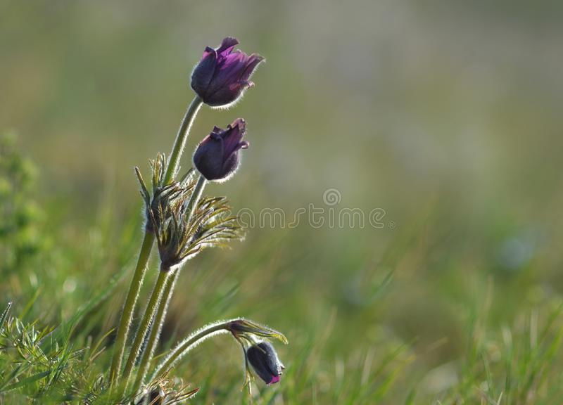 Pulsatilla vulgaris is steppe flowers. Steppe early-flowering plants need protection stock images