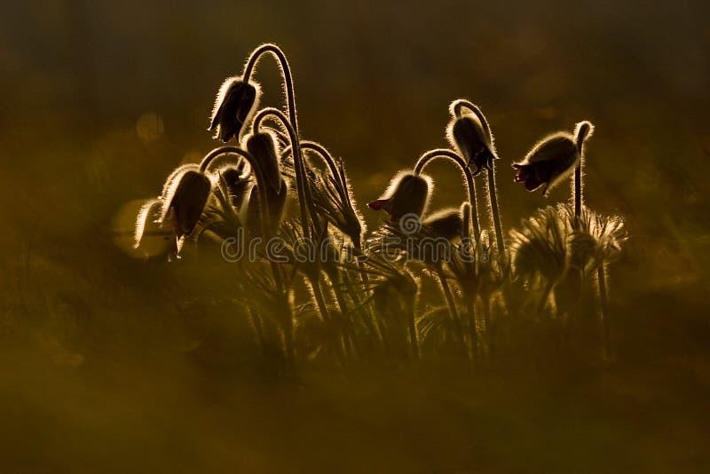 Pulsatillas in der Hintergrundbeleuchtung lizenzfreie stockfotografie