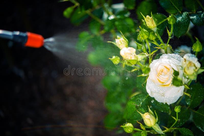 Pulverização do controlo de pragas das flores fotos de stock