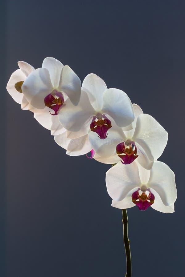 Pulverizador da orquídea, phalaenopsis, contra um fundo azul fotografia de stock royalty free
