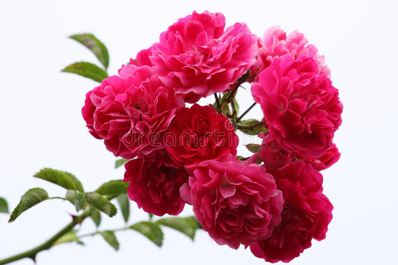 Pulverizador de rosas cor-de-rosa fotografia de stock royalty free