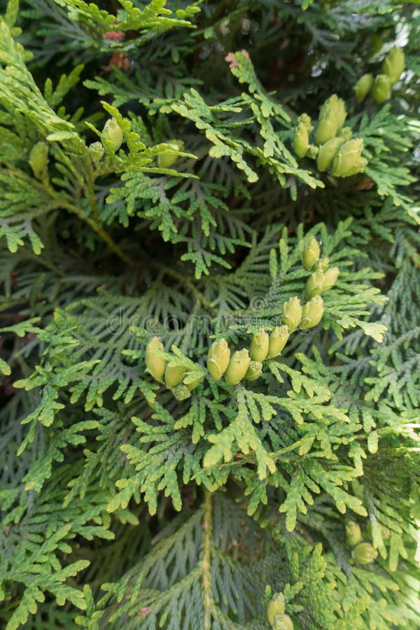 Pulverizadores lisos com as folhas escamosos de occidentalis do Thuja imagem de stock