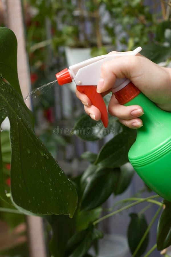 Pulverize plantas verdes e ao cuidado delas imagens de stock