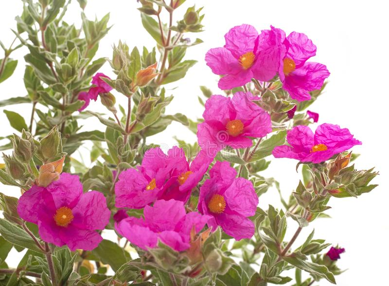 Pulverulentus di cistus in studio fotografia stock libera da diritti