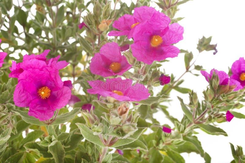 Pulverulentus di cistus in studio immagine stock libera da diritti