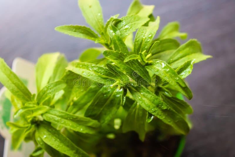Pulvrisera steviaväxtcloseupen som bevattnar växter - bild royaltyfria foton
