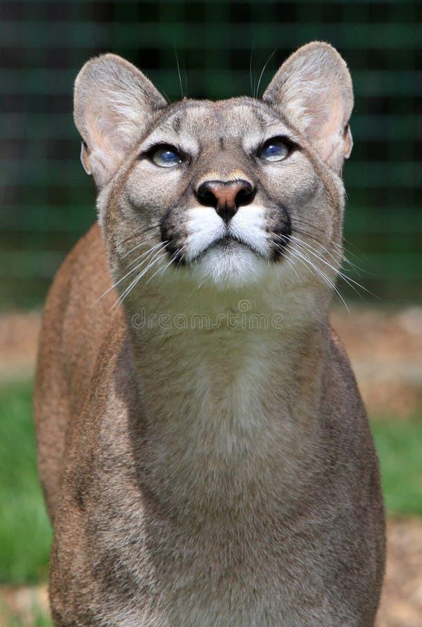Puma fotos de stock royalty free