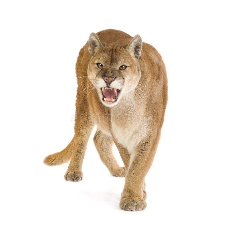Puma (17 anos) - concolor do puma fotografia de stock royalty free