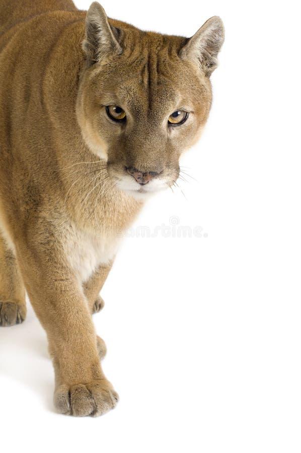 Puma (17 anos) - concolor do puma fotografia de stock