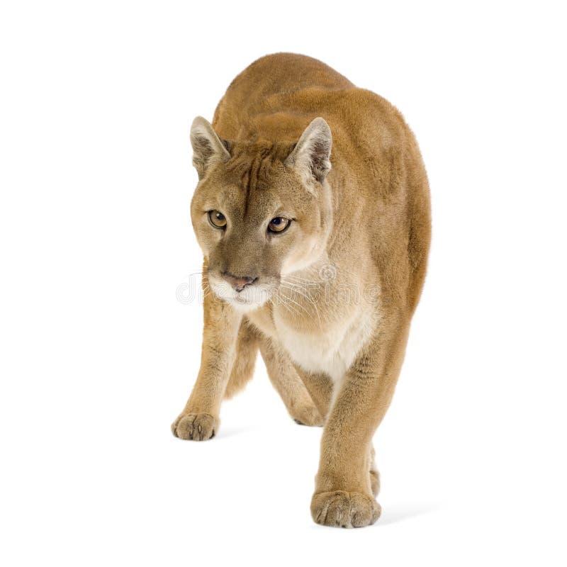 Puma (17 ans) - concolor de puma photo libre de droits