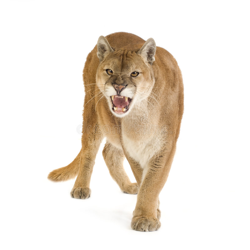 Free Puma (17 Years) - Puma Concolor Royalty Free Stock Photography - 4407457