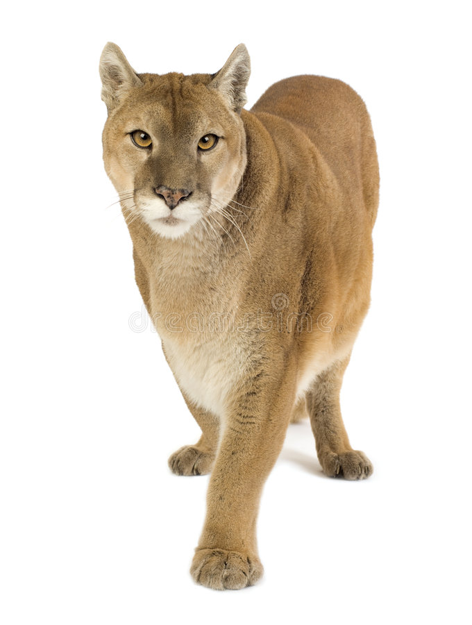 Download Puma (17 Years) - Puma Concolor Stock Image - Image: 4407591