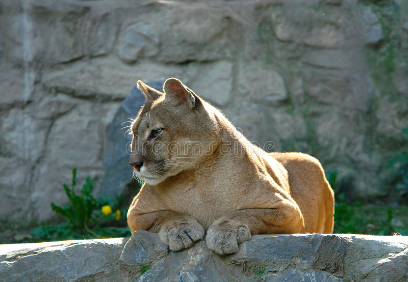 Download Puma stock image. Image of wild, rocky, dangerous, paws - 1720877