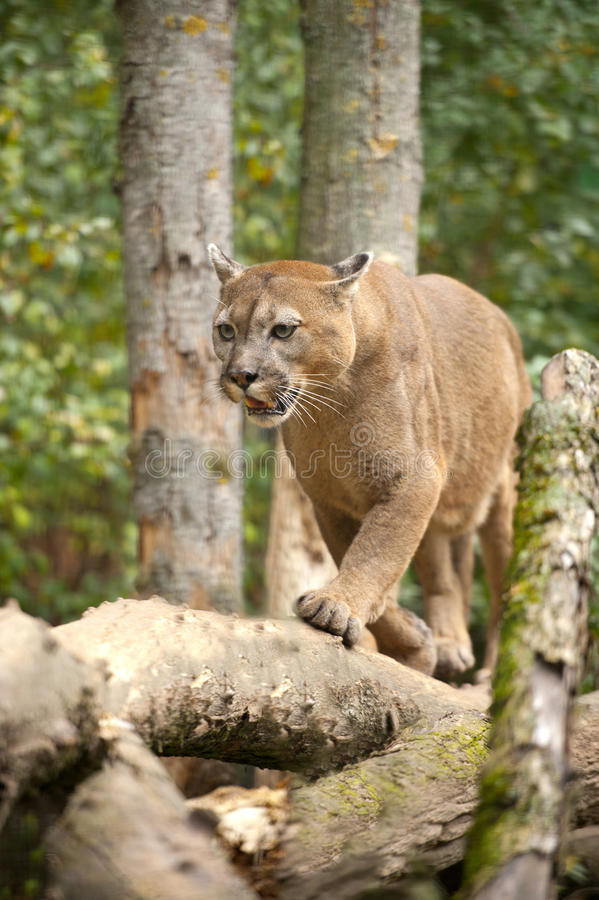 Puma lizenzfreies stockbild
