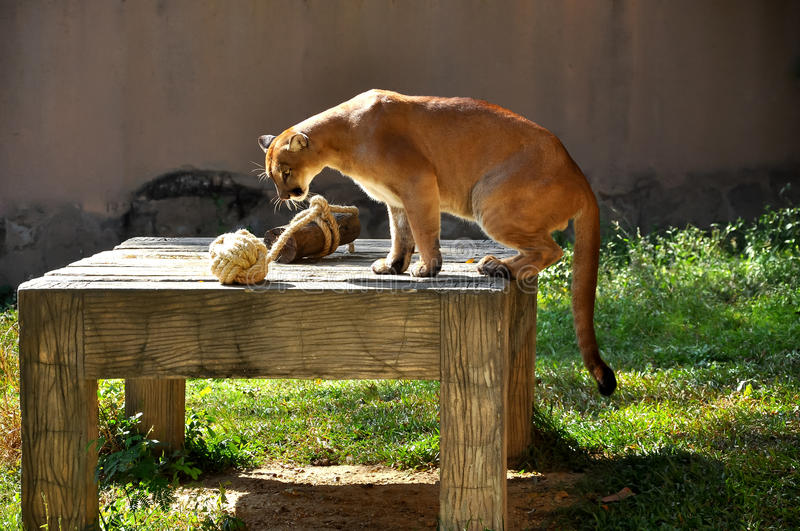 Download Puma stock photo. Image of concolor, animal, lions, kitty - 27927102