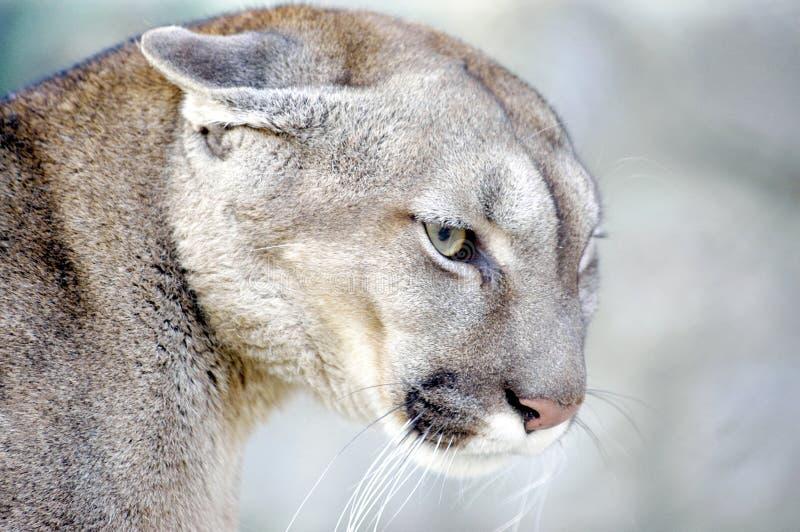 Puma photos stock
