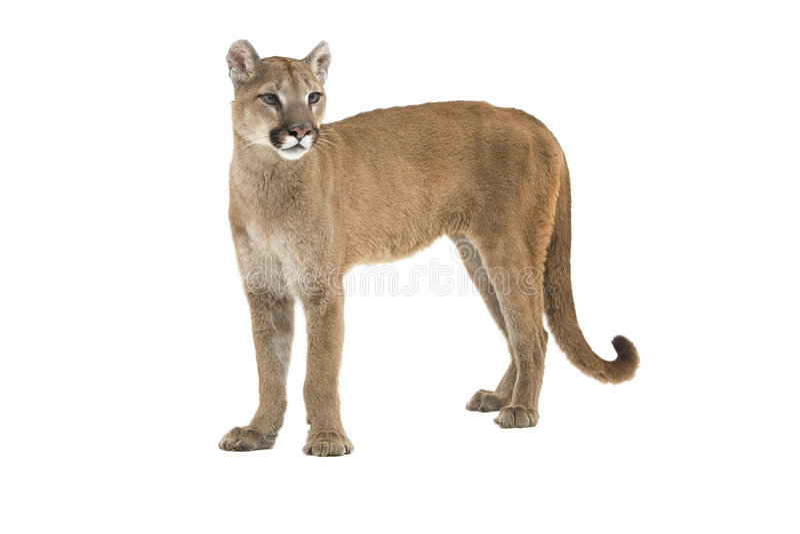Puma image libre de droits