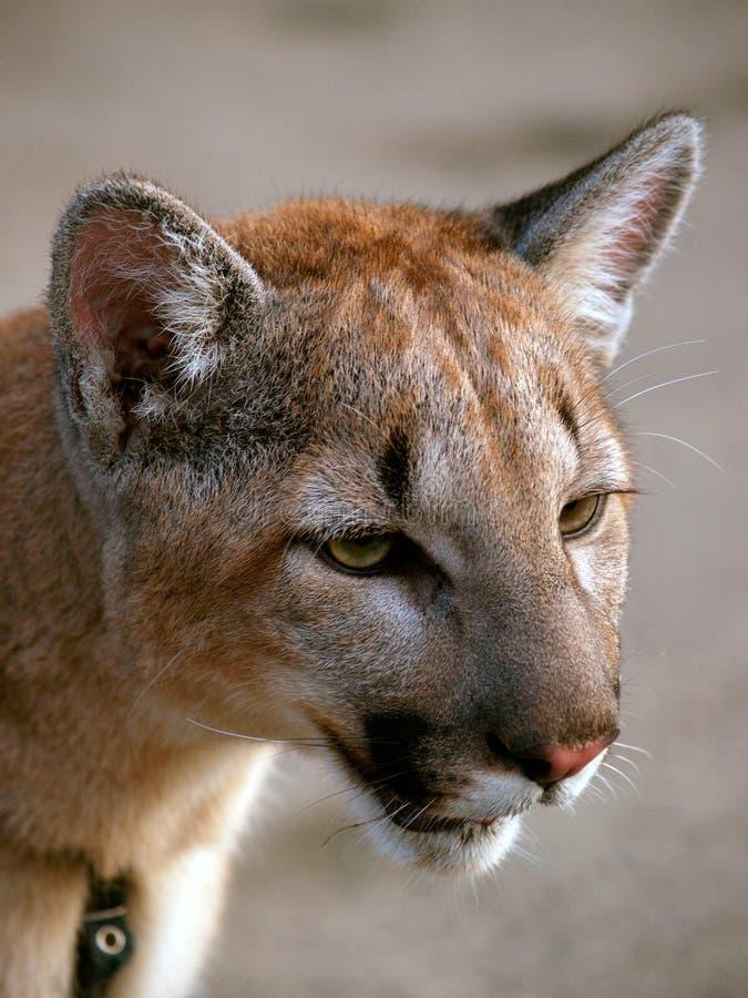 Download Puma stock image. Image of puma, deer, headshot, strong - 6867539
