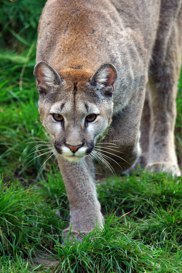 Puma stockfoto