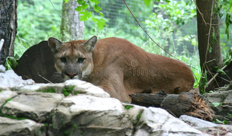 Puma royalty free stock images