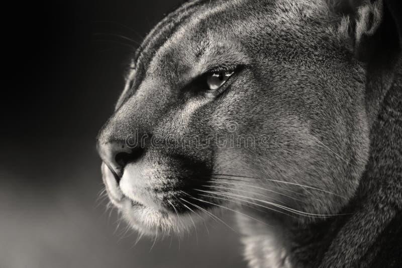 Puma americano de la cara blanca negra, puma imagenes de archivo