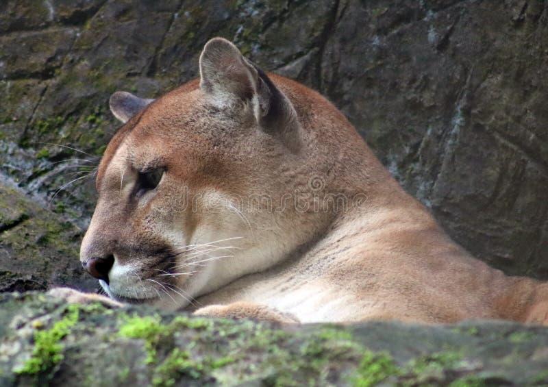 Puma americano do puma em Costa Rica foto de stock royalty free