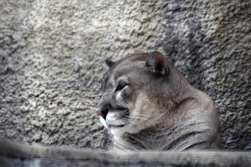 Puma animal portrait at grey stone wall background. stock photo