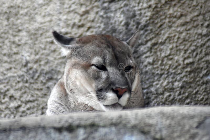 Puma animal portrait at grey stone wall background. royalty free stock photos