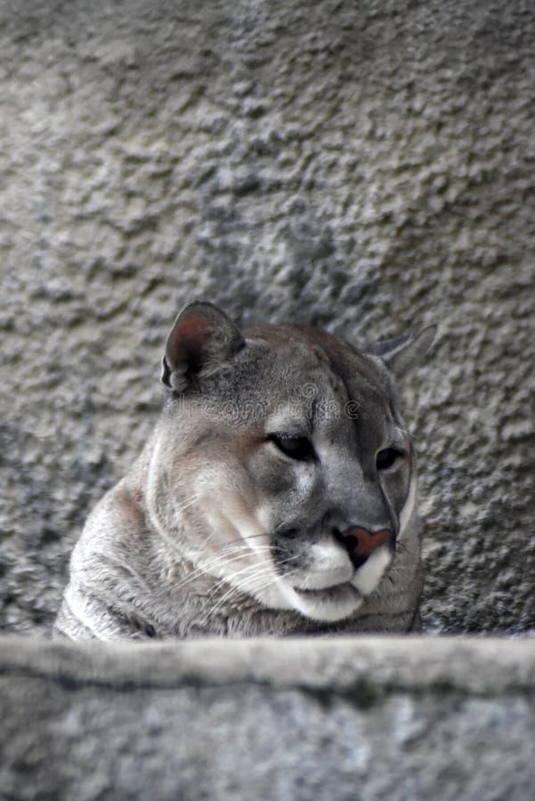 Puma animal portrait at grey stone wall background. stock photos