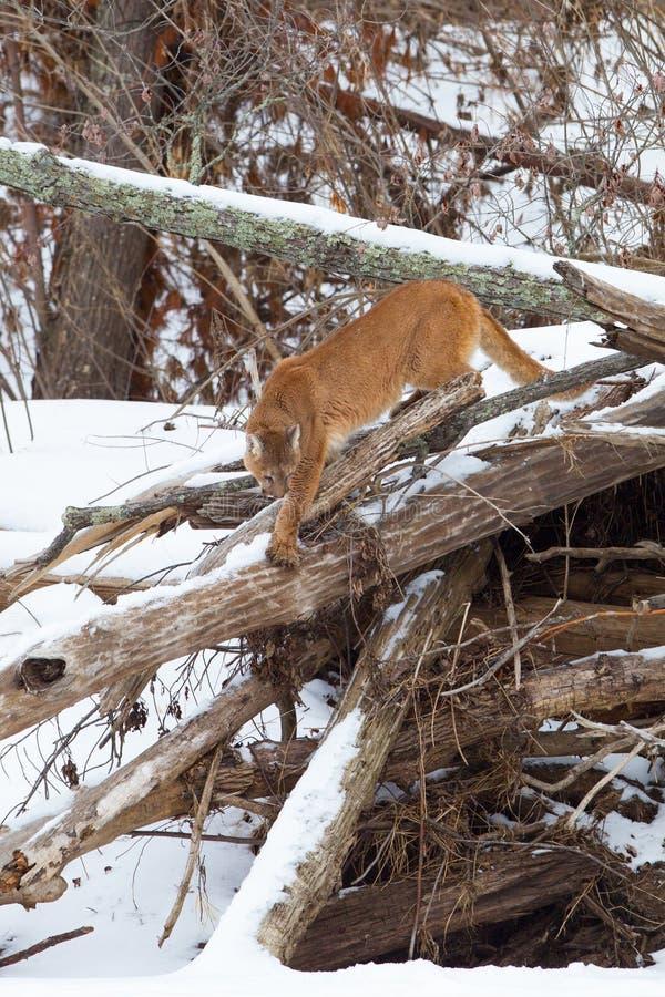 Puma avec la longue queue descendant le rebord photo stock
