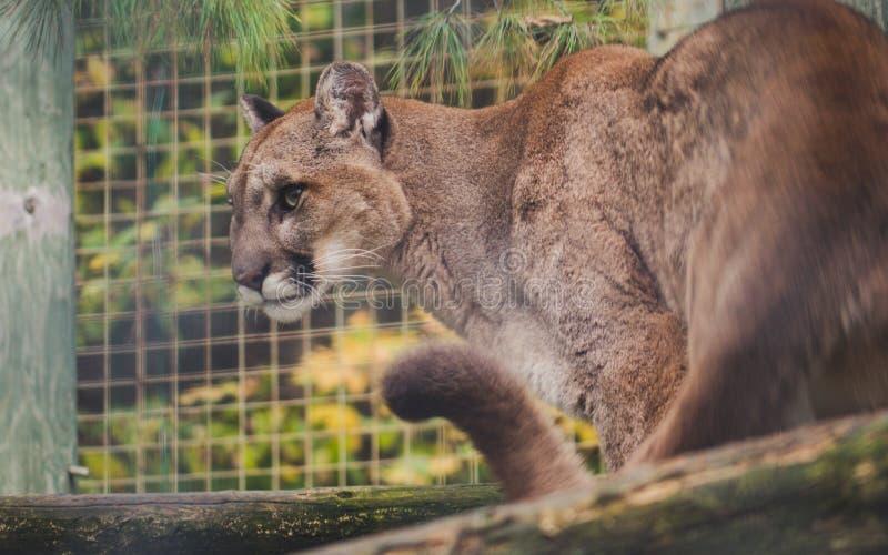 Puma avec le grand concolor sauvage de puma de chat de vue pointue prêt à attaquer image libre de droits