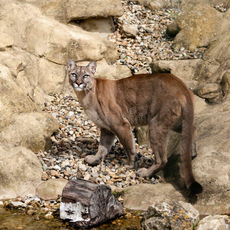 Puma Camouflaged On Rocks Looking Up Stock Image