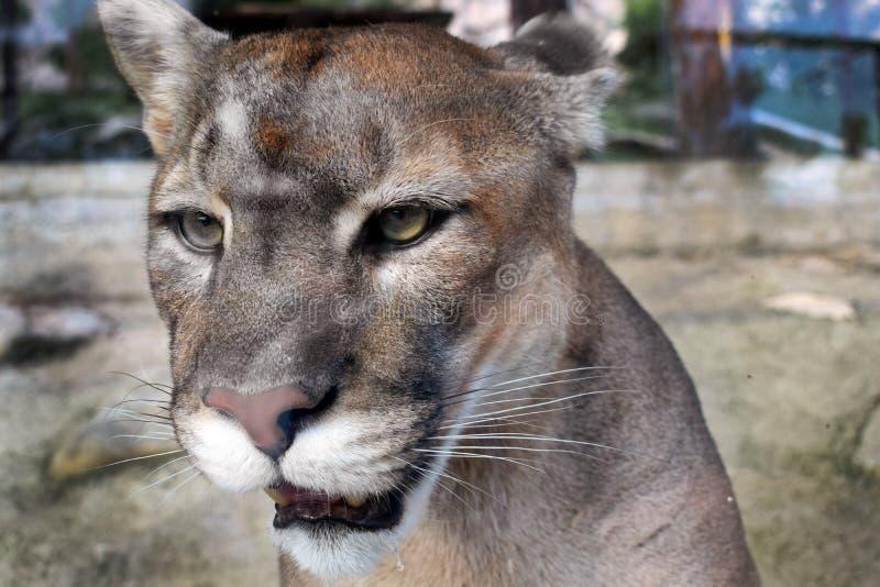 puma Chat sauvage photos libres de droits