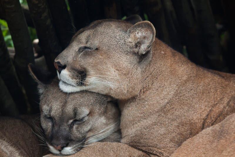 Puma chileno & x28; Concolor& x29 do puma; foto de stock royalty free
