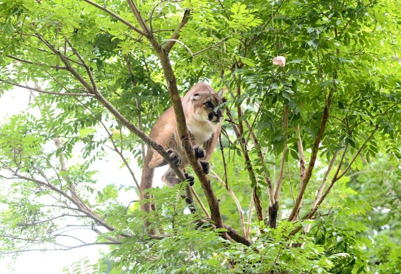 Puma climbing on tree stock images