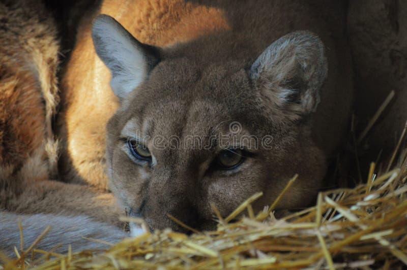 Puma. Close up of a puma stock photos