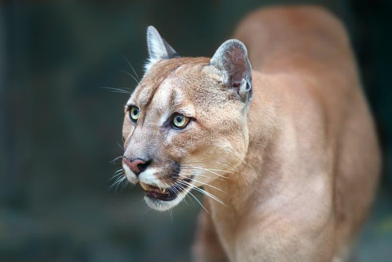 Puma portrait close up royalty free stock photography