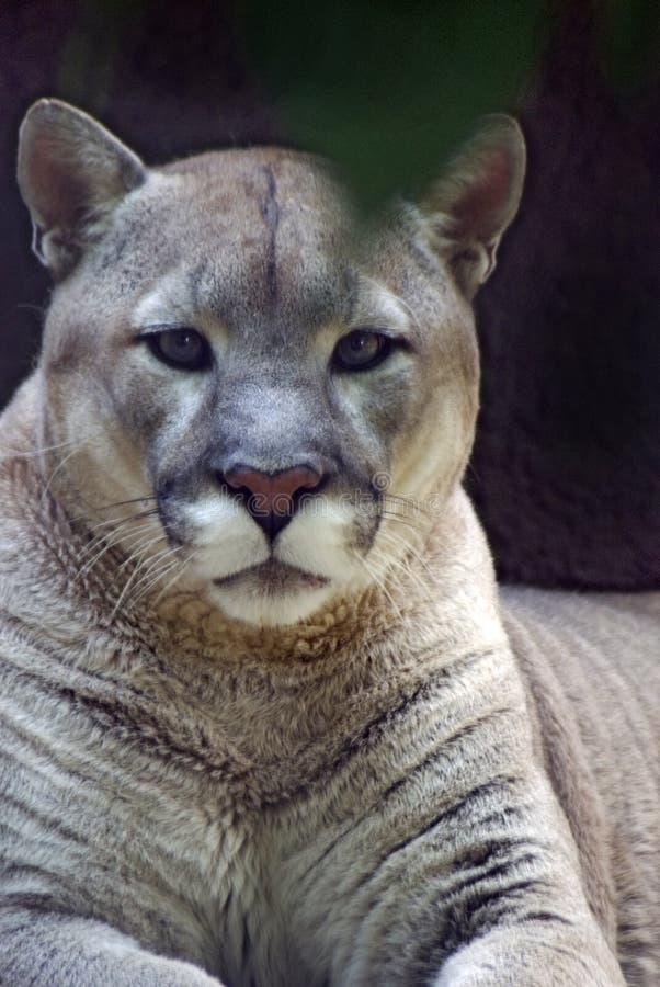 Puma stock photos