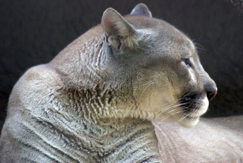 Puma stock image