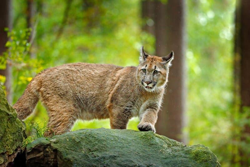 Puma concolor, bekannt als der Berglöwe, Panther, in der grünen Vegetation, Mexiko Szene der wild lebenden Tiere von der Natur Ge stockbilder