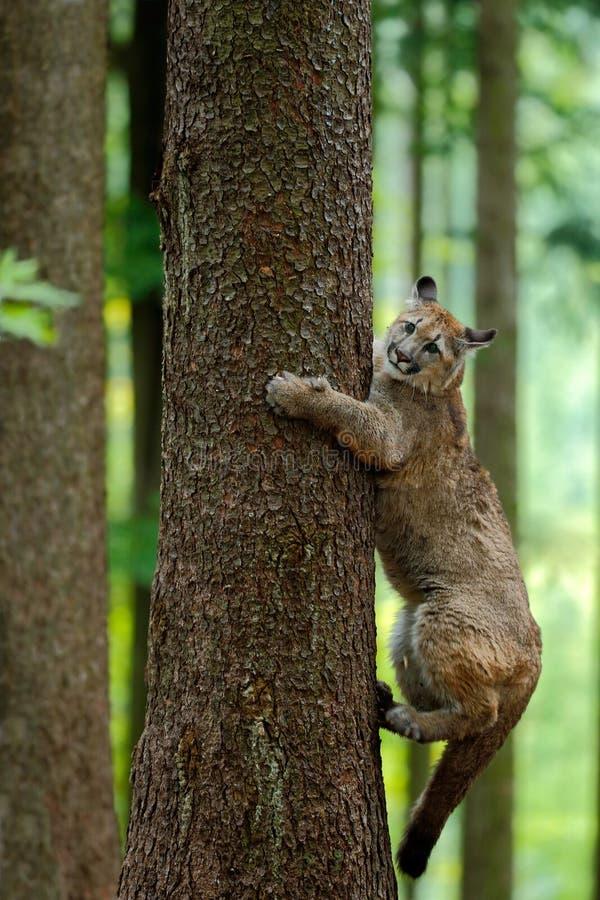 Puma, concolor de puma, s'élevant sur l'arbre, dans l'habitat de nature de forêt, animal de danger de portrait avec la pierre, Et photographie stock