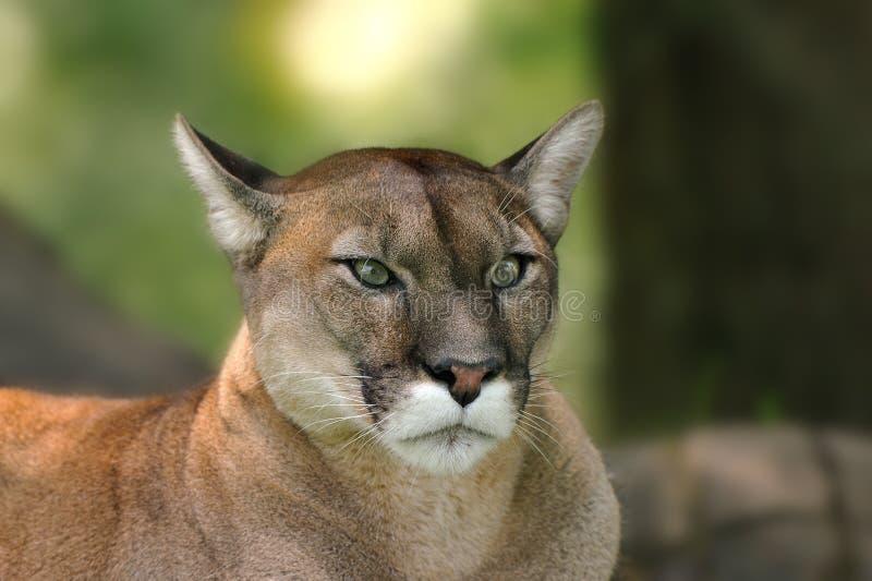 Puma (concolor del puma) fotografia stock