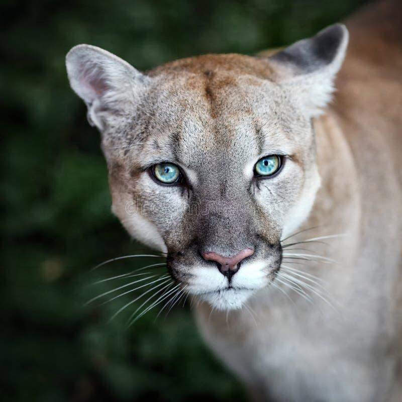 Puma, cougar, wild cat Portrait stock images