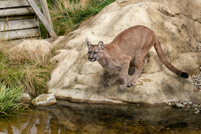 Puma Crouching About to Jump off Rock. Felis Concolor royalty free stock image
