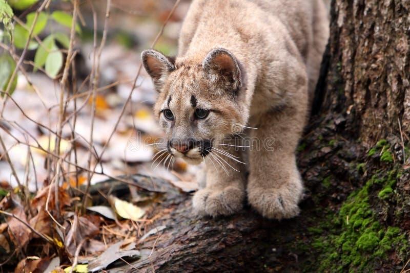 Puma Cub lizenzfreie stockbilder