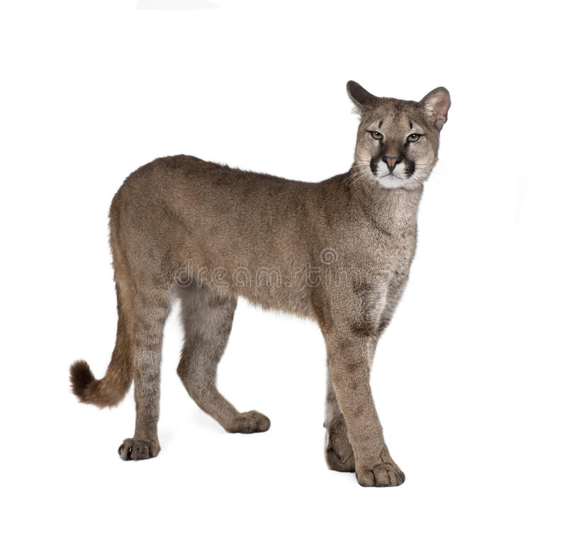 Puma cub in front of a white background stock photo